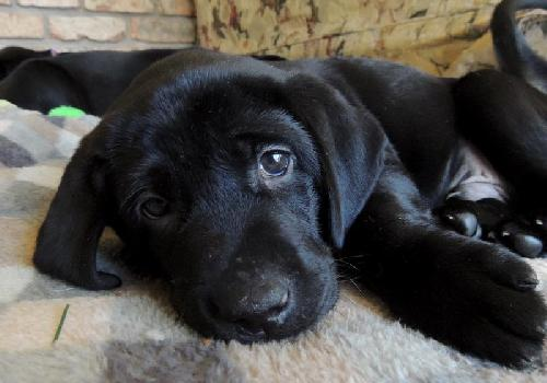 Szürkehályog – okai és tünetei (I. rész) kutyáknál b71e106a2a